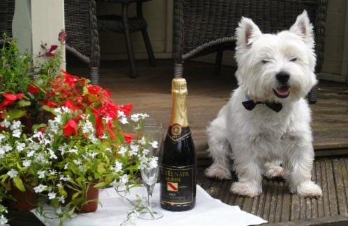 Wedding westie dog sitting home boarding champagne